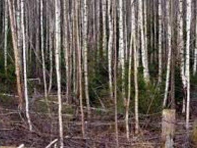 Perka miškus, gali būti jaunuolynai